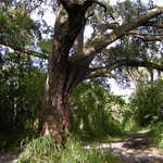 The Devils Tree in Port St Lucie